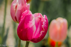 CMJ_3141 (cmj_rnrgrl) Tags: flower lensbaby virginia tulips farms haymarket burnside lensbabysweet56