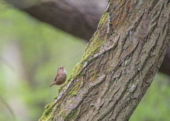 Wren at YWT Potteric Carr (Osgoldcross Photography) Tags: trees bird nature leaves woodland spring woods nikon raw branch feeding insects naturalhistory trunk perched wren foraging yorkshirewildlifetrust ywt branchlet nikond810 pottericcar ywtpottericcarr