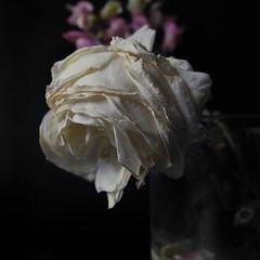 s ara dintre meu (llambreig) Tags: love rose paper death spain poetry poem amor mort flor rosa blanca record poesia nit poeta versos memria oblit ptals leveroni desmai castello castellodelaplana porcarnet