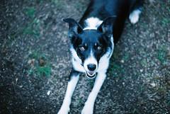 Jess (julzdream) Tags: dog 35mm pentax spotmatic bordercollie