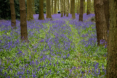 Selfie in the Woods (Andy Valente) Tags: uk flowers england bluebells woodland