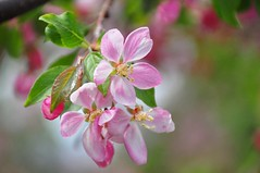 pretty in pink (christiaan_25) Tags: pink flowers white flower tree green nature colors leaves outside outdoors petals spring blossom blossoms bloom crabapple blooming