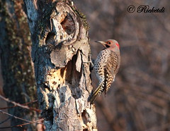 Pic flamboyant / Northern flicker/ Colaptes auratus (ricketdi) Tags: bird pic northernflicker colaptesauratus cantley picflamboyant