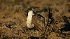 Video of the Sharp Dressed Man - Greater Sage Grouse Displaying - D4588 (teagden) Tags: man nature sunrise video nikon wildlife earlymorning grouse sage sharp greater dressed lek displaying naturephotography sagegrouse wildlifephotography greatersagegrouse jenniferhall jenhall grousedisplaying jenhallphotography jenhallwildlifephotography