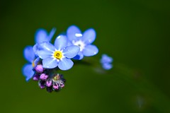 Forget Me Not! (paulapics2) Tags: blue macro nature garden spring pretty blumen canon5d frhling forgetmenots picmonkey