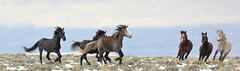 Battle of the Bands (chad.hanson) Tags: wildlife wyoming wildhorses mustangs greenmountainhma