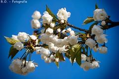 Blten / Blossoms (R.O. - Fotografie) Tags: blue sky nature lumix outdoor natur blossoms bad himmel panasonic fz 1000 dmc blauer blten driburg schrfeverlauf fz1000 dmcfz1000