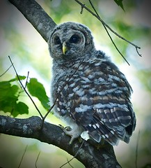 Barred Owlet (George McHenry) Tags: barred owlet