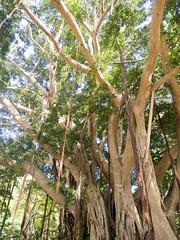 big banyan 2 (dolanh) Tags: hawaii maui iaovalley banyantree kepaniwaipark thekoreangarden