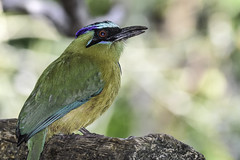 Blue Crowned Motmot (C. P. Ewing) Tags: blue bird nature birds animal colorful natural outdoor wildlife avian motmot crowned snimals