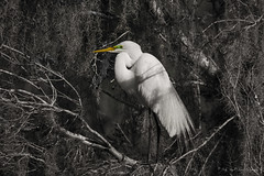 """Beautifully Designed"" A great egret at Magnolia Plantation - Judy Royal Glenn Photography (Judy Royal Glenn) Tags: nature birds unitedstates wildlife southcarolina charleston egret greategret naturephotography blackwhitephotography magnoliaplantation 2016 charlestonsouthcarolina birdphotography selectivecoloring wildlifephotography birdphotos silverefexpro2 nikcollection judyroyalglennphotography judyroyalglenn"