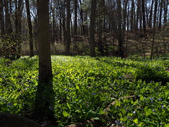 Wildflower field (pilechko) Tags: flowers trees light color bluebells pennsylvania newhope bowmanshill