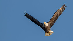 Eagle ... and Its Meal (ken.krach (kjkmep)) Tags: baldeagle maryland susquehannariver