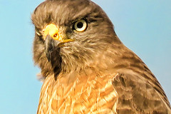 LrMobile0205-2016-101810386845750643 (cnajhar) Tags: bird ave falcon predator falco