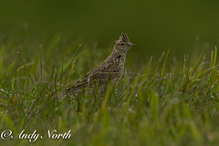 Skylark (andyno43) Tags: bird nature animal canon outdoor wildlife small country meadow lincolnshire skylark framptonmarsh canonef600mm canon1dx