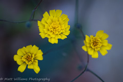 Wild and Delicate (Matt Williams Gallery) Tags: blue flower macro nature yellow closeup spring nikon colorful durham bokeh hiking fineart bloom wildflowers fineartphotography blooming naturephotography macrophotography enoriverstatepark d7100 mattwilliamsphotography