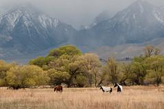 Sierra horses (Thankful!) Tags: ranch horses spring farm stormclouds snowclouds easternsierra