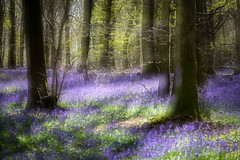 Dreaming of Bluebells (4orty7even) Tags: morning blue light england sunlight blur colour green nature beautiful bluebells sunrise woodland landscape outside countryside early spring still woods solitude quiet natural unitedkingdom country peaceful fresh surrey multipleexposure growth gb april dreamy tranquil flowersplants whitedown molevalleydistrict martingriffett xt1201604287266