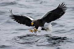 Reaching (Ross Forsyth - tigerfastimagery) Tags: sea wild nature birds japan hokkaido eagle wildlife free birdofprey stellers stellersseaeagle okhotsk rausu seaofokhotsk stellarseaeagle