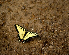 butterfly (LaLa83) Tags: ohio brown nature yellow butterfly insect outdoors spring wings sony may marcy hike alpha metroparks 2016 a230 slaterun pickawaycounty ruralohio slaterunmetropark ohiofoothills exploreohio