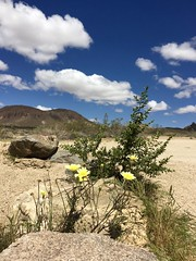 Desert Dandelion, Small Creosote and Malapai Hll (Livin' In The Wild, Wild West) Tags: volcano ancient desert dandelion creosote jtnp monzogranite malapaihill