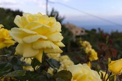 Yellow Rose (Davide Argano) Tags: flowers roses flower green nature rose yellow landscape gold focus dof sicily