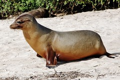 Galapagos Sea Lion (Zalophus wollebaeki) (Susan Roehl Thanks for 5.1 M Views) Tags: ecuador ngc npc sealion santafeisland coastalanimal zalophuswollebaeki deepdives photographictours pentaxk7 galapagos2013 naturalexposures sueroehl endemictoislands verygregarious packledbyonebull
