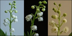 Triptyque de muguet (Phil.Claboter) Tags: camera white black france flower color macro fleur composition photoshop canon photo reflex nikon flickr raw triptych noir nef view natural zoom picture compositions photographic oeil full 300mm pixel frame d750 dxo format nikkor capture fx jpeg effect et muguet blanc hdr philippe couleur triptyque afs thrush sensor megapixel mega appareil dx lightroom optic correction nx dlighting cmos objectifs photographique fmount capteur d5000 d7100 viewnx d5200 expeed d5300 d7000 mgapixels d5100 claboter