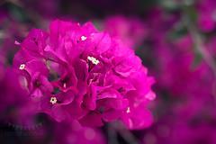 Bougainvillea (Ramn Antiolo) Tags: pink flowers summer flower garden petals spring mediterranean purple blossom magenta bougainvillea blooming buganvilla
