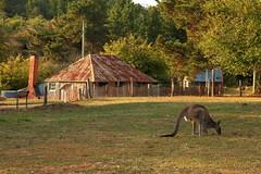 Idyllic Hill End Evening (Darren Schiller) Tags: autumn grass fauna cottage australia historic kangaroo newsouthwales goldrush hillend