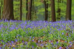 IMG_5564 (ruiterde) Tags: blauw belgium belgie halle hyacinth hallerbos sprokkjesbos