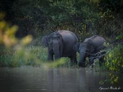 Morning Bath (Ineound) Tags: life park wild elephant digital ed four spiegel wildlife olympus national micro tele srilanka zuiko blick omd thirds m43 mft 40150mm f456 em5 spiegelblick 40150mmf456 microfourthirds 43 mzuiko spiegelblickde spiegelblickde 40150mm 14056
