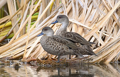 grey teal (Fat Burns  (gone bush)) Tags: bird fauna duck teal queensland australianbird barcaldine australianfauna greyteal australianduck anasgracilis lagooncreek nikond750 sigma150600mmf563dgoshsmsports sigmateleconvtc1401nik