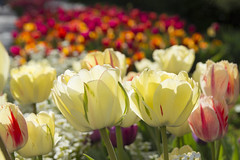 Hope You Like Tulips (aaronrhawkins) Tags: flowers sunlight color nature beautiful sunshine photography utah petals spring colorful afternoon tulips stems tulipfestival lehi thanksgivingpoint aaronhawkins