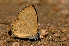 Prosotas lutea - the Banded Lineblue (BugsAlive) Tags: macro nature animal butterfly insect thailand outdoor wildlife butterflies insects lepidoptera chiangrai lycaenidae polyommatinae liveinsects thailandbutterflies  lamnamkoknp bandedlineblue prosotaslutea