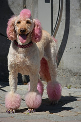 The Pink Poodle (swong95765) Tags: pink dog haircut purple canine poodle colored