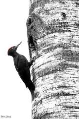 The whole bird (Stefan Gerrits aka vanbikkel) Tags: park bw white black bird nature birds espoo finland woodpecker centralpark wildlife specht puisto lintu blackwoodpecker dryocopusmartius palokrki zwartespecht canon5dmarkiii vanbikkel espoonkeskuspuisto canonef500mmf4liiusm