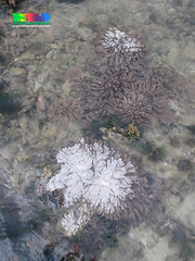 Black-and-white leathery soft coral (Cladiella sp.) (wildsingapore) Tags: nature marine singapore underwater wildlife shore intertidal sentosa shores seashore marinelife rimau cnidaria wildsingapore alcyoniidae alcyonacea cladiella