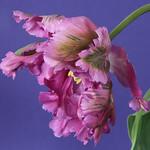 Purple parrot tulip thumbnail