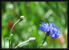 IMG_1662 A Pattern of Isolated Incidents Has Emerged 4-24-16 (arkansas traveler) Tags: flowers nature zoom bokeh telephoto cornflowers bokehlicious naturewatcher