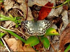 Tropical Checkered Skipper (d_taron) Tags: unitedstates florida butterflies hesperiidae pyrgus pyrginae pyrgusoileus