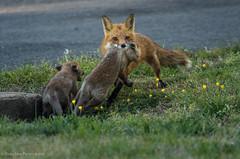 Vixen moving her kits. (rishaisomphotography) Tags: mammal furry babies fuzzy wildlife fox momma vixen redfox vulpesvulpes babyanimals wildlifephotography naturephotographer foxkits foxbabies