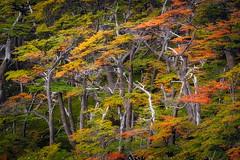 Otoo en el Paine (LFelipe_P) Tags: chile patagonia colour forest landscape torresdelpaine lengas