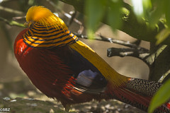 Golden Pheasant - Chrysolophus pictus (stuboy72) Tags: golden pheasant pictus chrysolophus