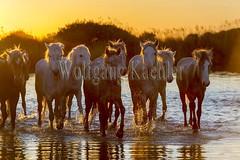 40080877 (wolfgangkaehler) Tags: sunset horse france water french europe european wetlands marsh herd marshland wetland eveninglight camargue southernfrance marshlands 2016 camarguehorses