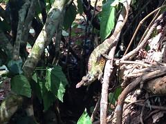Usumbara Chameleon, Amani, TZ Nov 2015 (Ventures Birding Tours) Tags: africa2015