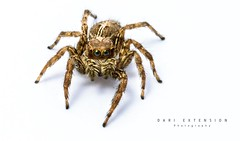 Jumping spider (Dari_Extension) Tags: macro animals closeup spider zoology arthropod