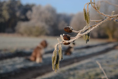 MESSAGE Alder Catkins & Dog - keh (pogmomadra) Tags: winter tree dogs woodland blurry nikon dof bokeh path frosty icy hbw happybokehwednesday d5300 pogmomadra
