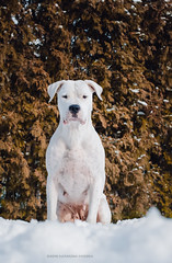 (Katarina Drezga) Tags: winter dog pet pets dogs animal animals perro perros pas dogphotography petphotography dogoargentino nikkor50mm18g nikond3100
