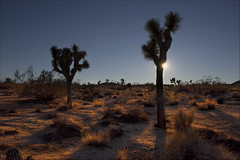 Two Joshua Trees (Sunset Dogs) Tags: